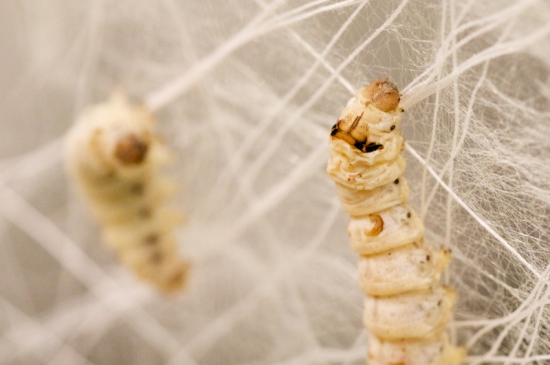 Silkworms laying down fibers on a digitally-fabricated armature (Steven Keating/Courtesy Mediated Matter)