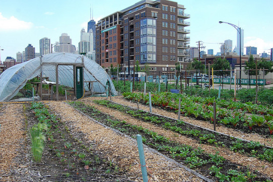 chicago-based city farm turns vacant land into productive farmland. (organicnation via flickr)