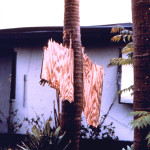 South Florida, 1992. Flying debris is a major source of damage in hurricanes as this piece of plywood driven through the trunk of a royal palm during Hurricane Andrew attests. (NOAA Photo Library, National Weather Service Collection)