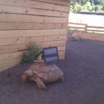 Moving Ghost by Cai Guo-Qiang affixed iPads to the backs of African tortoises. (Aaron Seward's phone.)