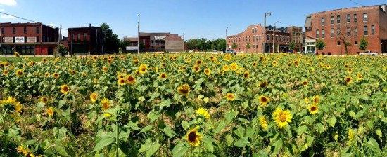 As part of Washington University's Land Lab program, a vacant lot in St. Louis was made into a sunflower field. (Richard Reilly)